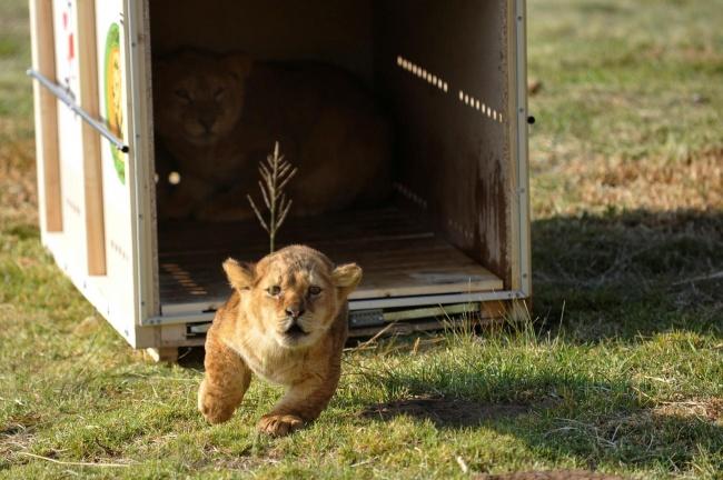 На свободу. Полугодовалого львенка выпускают на свободу в Южной Африке.