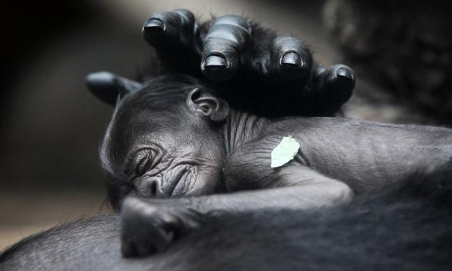 Забота матери. Новорожденная горилла в городском зоопарке Германии