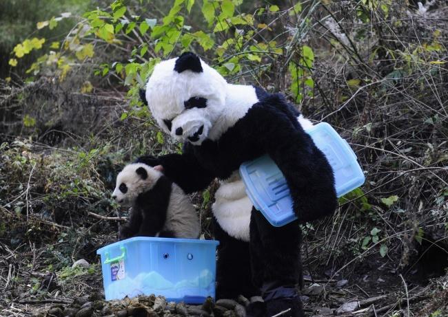 Хитрый ход. Научный сотрудник в костюме панды кладет детеныша панды в коробку, чтобы отнести его на медосмотр. Снимок сделан в естественной среде обитания панд — Национальном природном заповеднике Китая. Детеныша на снимке готовят к жизни в дикой природе.