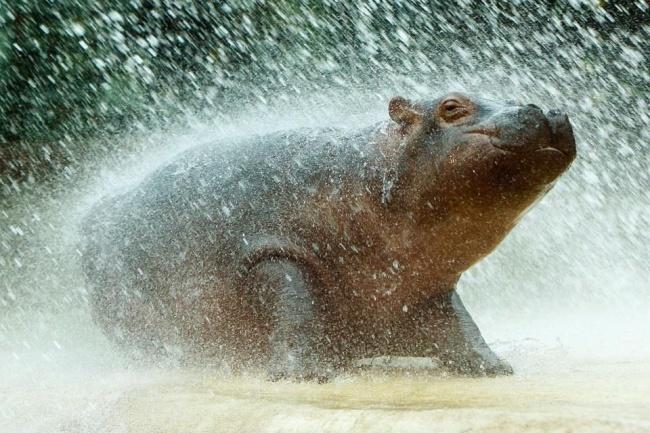 Искупался. Двухмесячный детеныш гиппопотама принимает душ под шлангом в зоопарке Берлина.