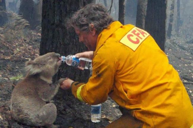 Спасая братьев меньших. Пожарный поит коалу во время опустошительных лесных пожаров в штате Виктория, Австралия.