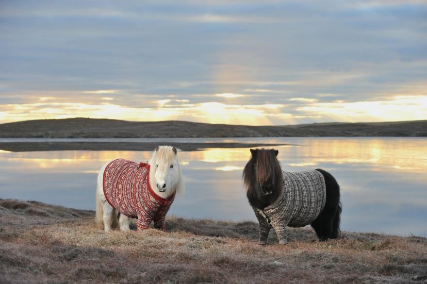 Шотландские пони.