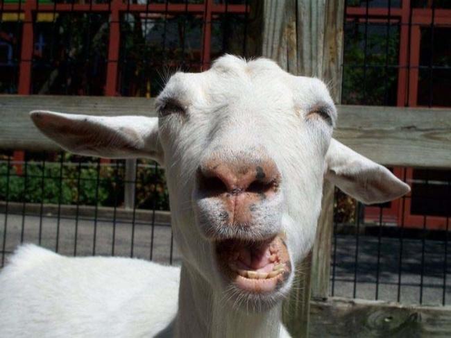 Чёткая коза.