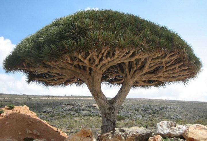 самые-необычные-деревья-на-свете-10