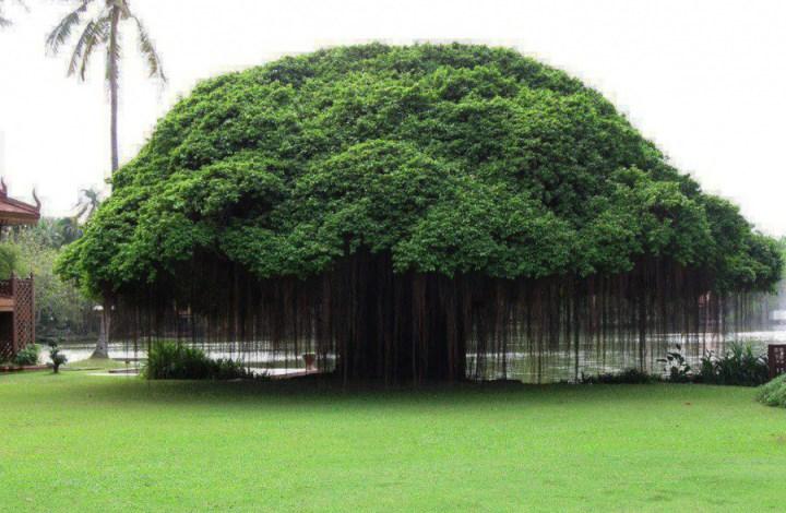 самые-необычные-деревья-на-свете-5