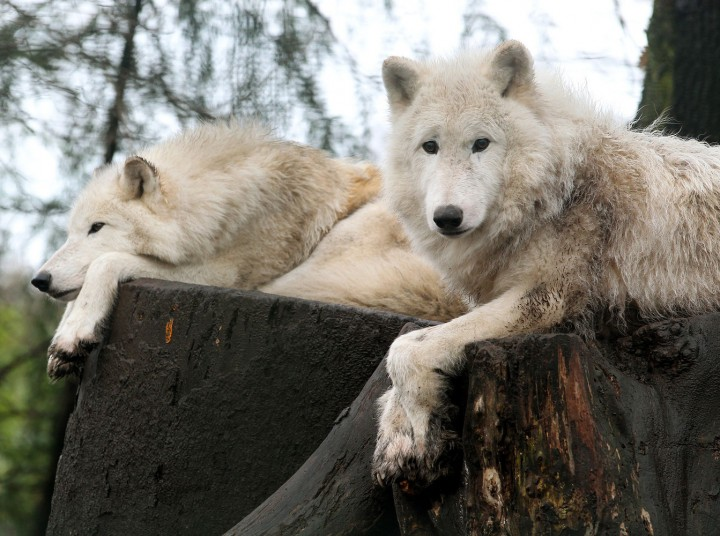 02 Jan 2012, Duisburg, Rhineland, Germany --- Arctic wolfs rest on a stump at the zoo in Duisburg, Germany, 02 January 2012. Photo: ROLAND WEIHRAUCH --- Image by © Roland Weihrauch/dpa/Corbis
