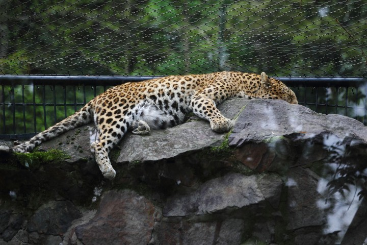 A leopard sleeps on a rock at Hangzhou Zoo in Hangzhou city, east Chinas Zhejiang province, 3 April 2014.
