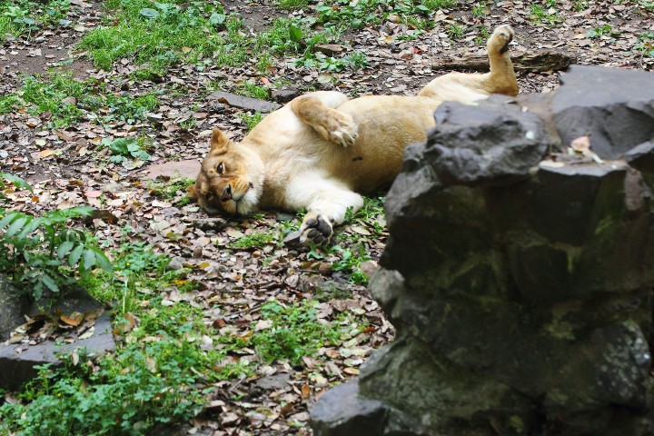 A female African lies on the ground at the Hangzhou Zoo in Hangzhou city, east Chinas Zhejiang province, 14 April 2014.