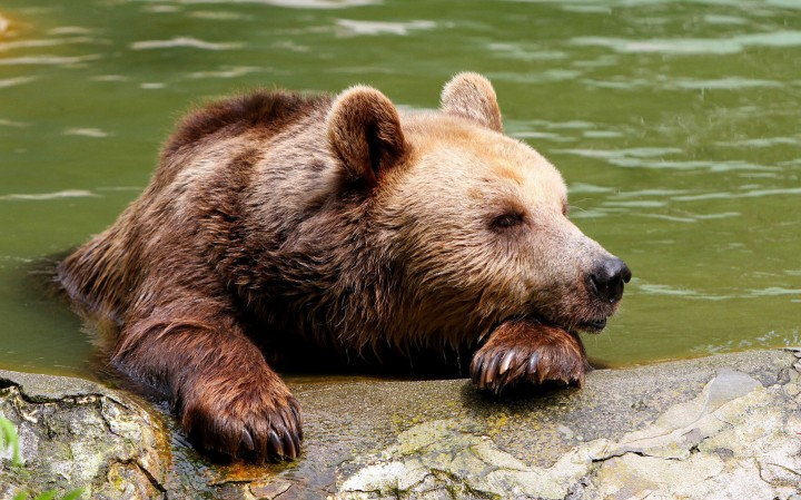 A brown male bear named Karamush tries to stay cool at a lake at Black sea town of Varna Zoo, east of the Bulgarian capital Sofia, Wednesday, August, 05, 2015. Over the past few days eastern Bulgaria was hit by hot wave as daily temperatures reached up to 40 degrees centigrade. Photo by: Emily Plamenova /Impact Press Group/NurPhoto