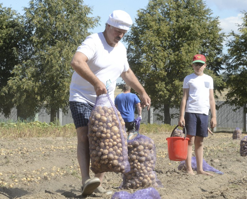 Belarus' President Alexander Lukashenko and his son Nikolai harvest potatoes in a field at the Drozdy presidential residence outside Minsk, Belarus, August 16, 2015. (Photo by Andrei Stasevich/Reuters/BelTA)