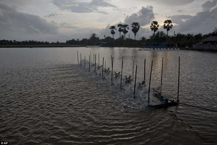 Пруд для выращивания креветок на ферме в Махачае. Когда около 30 лет назад азиатские фермеры начали разводить креветок, Таиланд быстро занял лидирующую позицию на этом рынке.