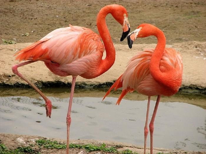 фламинго[1]
