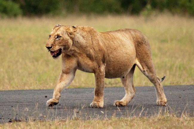 Беременная львица и