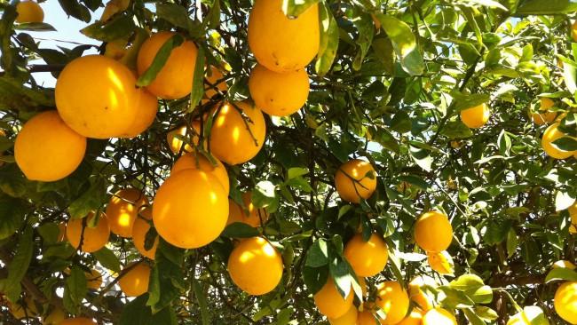 5_Lemons-650x366