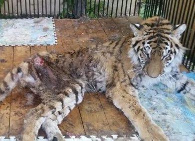 Тигрица Куралай за несколько дней до смерти