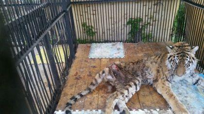 тигрица Куралай незадолго до гибели