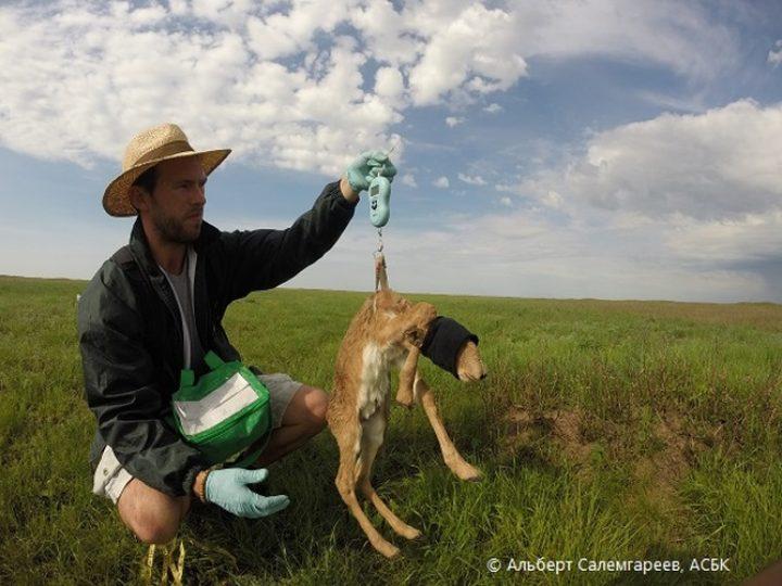 Сколько сайгаков осталось в Казахстане?