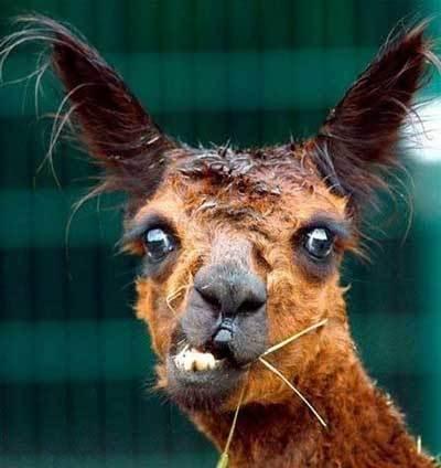 crazy_llama_by_coracee