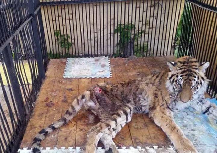 Тигрица Куралай в последние дни жизни