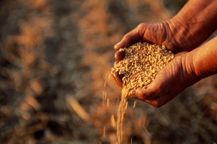 Казахстанские ученые нашли способ увеличить урожайность пшеницы