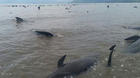 Еще около 200 дельфинов выбросились наберег в новейшей Зеландии
