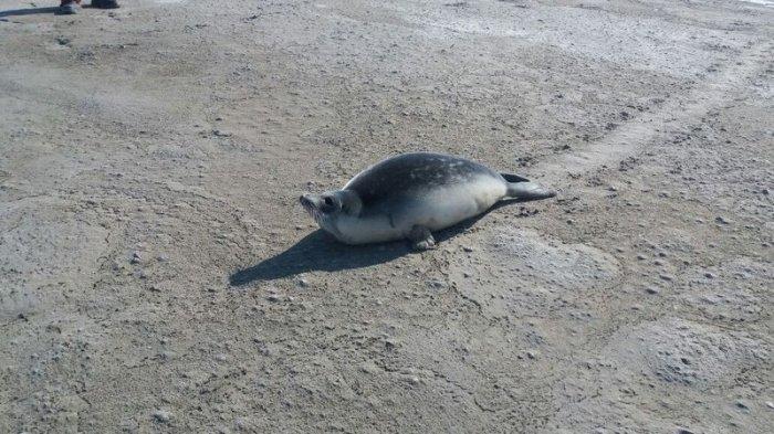 Экологи поведали о вероятных причинах появления тюленей встепи Мангистау