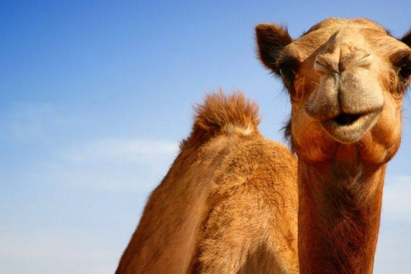 e86051f2ee4b962999eccbf8229fd15a 600x400 - 10 thousand camels destroyed in Australia