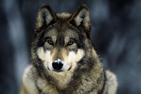 Volk 600x400 - Straying from the pack of the wolf scared the Aksu