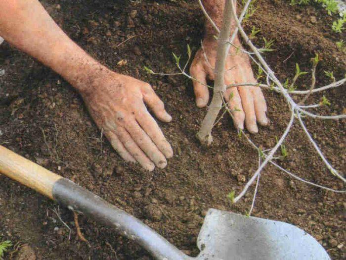 Почему нельзя сажать березу в огороде 82