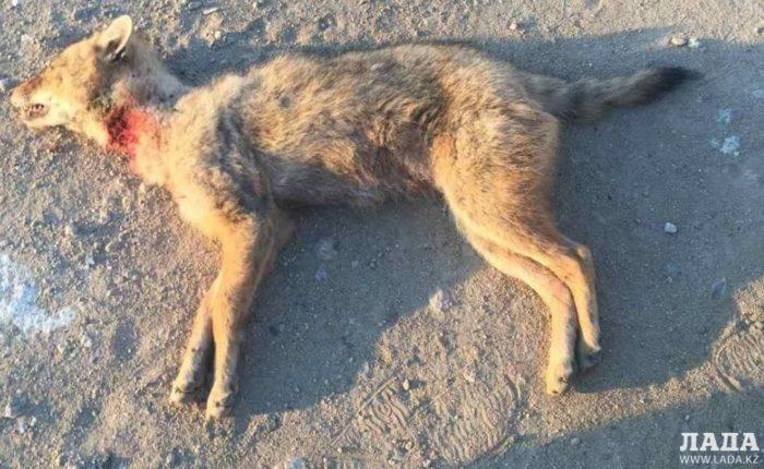 красный волк мангистау