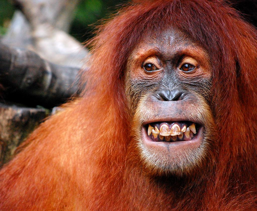 Орангутанги картинки смешные