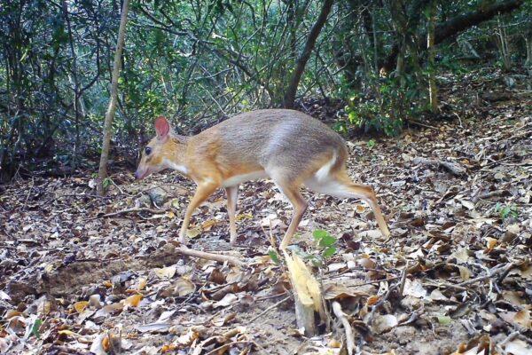 303ffae9003c4c78df5426794594cd62 600x400 - A camera trap caught an animal, extinct