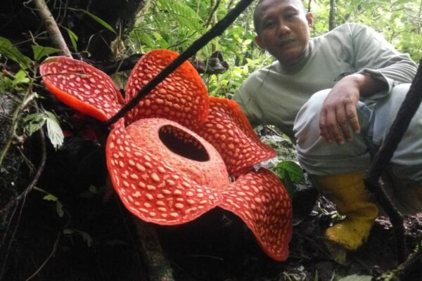 dd17d518fae7e171b772da3a4983b0b9 600x400 - Scientists have found a giant flower