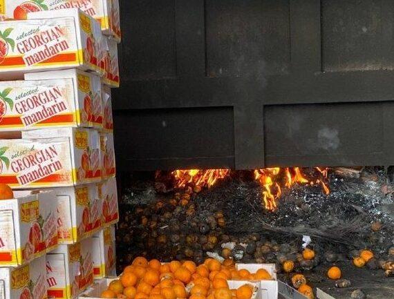 сожжение зараженных червецом комстока мандаринов