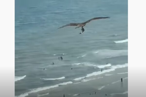 7accb03d7cffcf66b8965903027d3f9a 600x400 - Battle of the eagle and shark in the air in the United States was on video