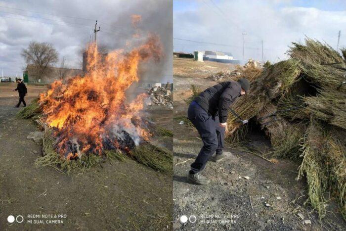 уничтожение конопли улытауский район